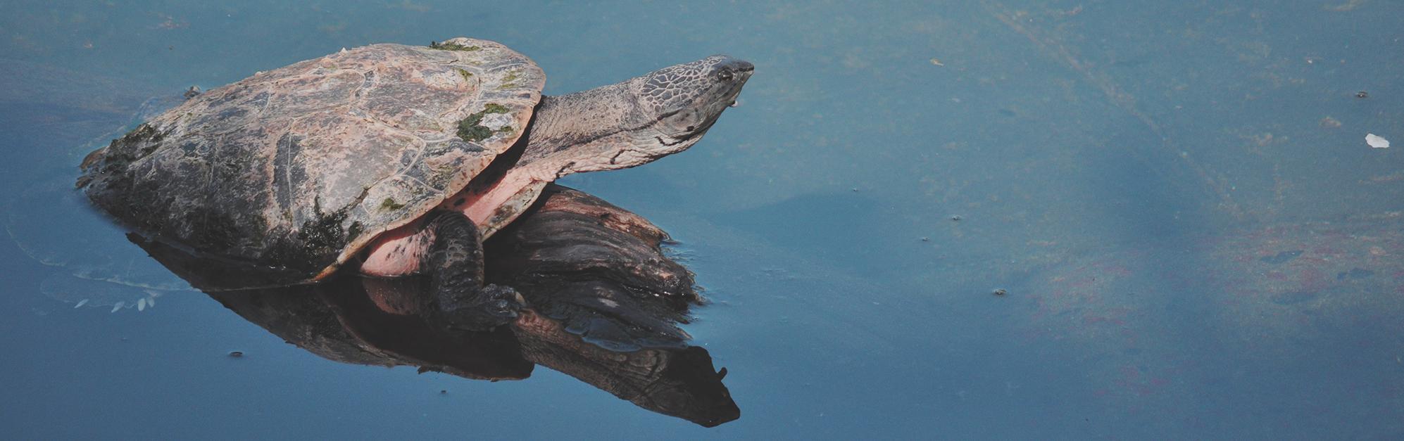 Turtle-pond